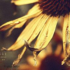 ps调色枯黄清晰的向日葵照片
